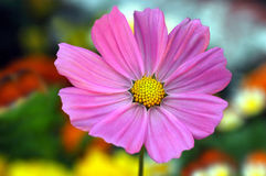 Beautiul Daisy Royalty Free Stock Photo