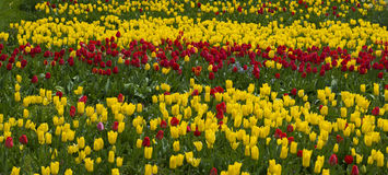 Beautiul red tulips in the middle of yellow tulips Royalty Free Stock Photo