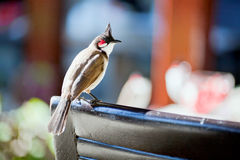 Beautiul red-whiskered bulbul Royalty Free Stock Images