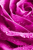 Beautiul violet pink rose. Close-up beautiul violet pink rose Royalty Free Stock Photography