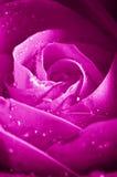 Beautiul violettes Rosa stieg Lizenzfreie Stockbilder