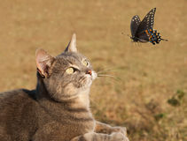 Beauttiful kitty cat curiously watching a butterfl Royalty Free Stock Image