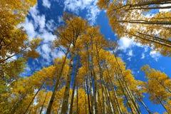 Beautuful金子和黄色白杨木树秋天clors林冠层  库存图片