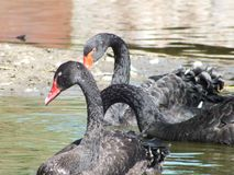 Black Swan. Beautuful black Swan in water stock image