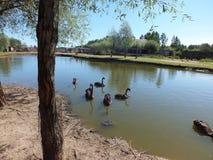 Black Swan. Beautuful black Swan in water Royalty Free Stock Images