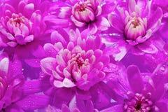 Beautuful lilablommor som floting i bevattna Arkivbilder