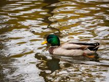 Mallard Duck. A beautuful mallard duck swims around on a cool autumn day Stock Images