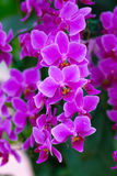 Beautuful Pink Orchid Stock Images