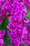 Beautuful Pink Orchid Stock Image