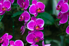Beautuful Pink Orchid Royalty Free Stock Photo