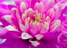 Beautuful purpurrote Blume mit Tropfen des Wassers stockfoto