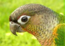 Beautul green cheek conure. Yellow sided green cheek conure royalty free stock photos