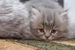 Beauty. Persian kitten stock image