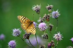 Beauty. Butterfly on a purple clover Stock Image