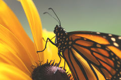 Beauty. Monarch Butterfly on a Black-eyed susan Royalty Free Stock Photos