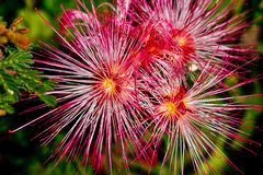 Free Beauty Among Thorns Royalty Free Stock Photos - 14115028