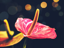 Beauty anthurium flowers Royalty Free Stock Image