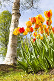 Beauty of Apeldoorn tulips Stock Photos