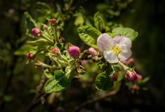 Beauty of the apple tree flowers Royalty Free Stock Images