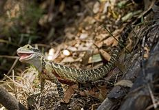 Beauty as a Lizzard Royalty Free Stock Images