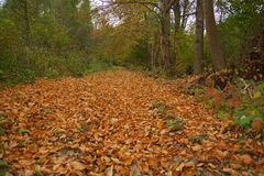 Beauty autumn forest. With leaves Royalty Free Stock Photography
