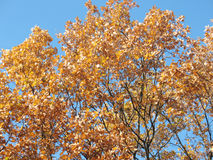 Beauty of autumn. In gold leaves on a tree on a background blue sky Stock Photo