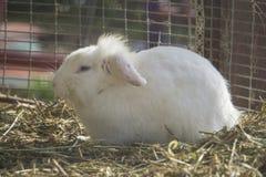 Beauty baby white rabbit Royalty Free Stock Image