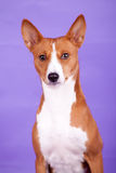 Beauty basenji dog Stock Image