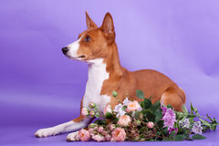Beauty basenji dog Stock Images