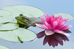 Beauty and the Beast. A bullfrog next to lily pads and a vibrant pink waterlily flower stock photos