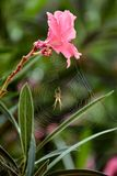 Beauty and the Beast. Beautiful flower and terrible spider. Ideal trap for poor insects stock images