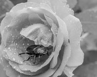 Beauty and the beast. Beetle in a rose covered with rain drops in black and white Stock Photos
