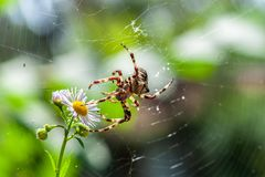 Beauty and the beast - a spooky big spider macro in its web touches camomile flower on blurry green or garden background. Beauty and the beast - spooky big stock photos