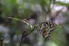 Beauty. Beautiful butterfly perching on a branch with a blurry background Royalty Free Stock Photo