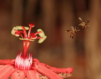 Beauty and the Bees. 2 bees fighting over a red flower Royalty Free Stock Photography
