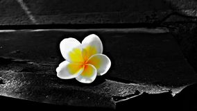 A beauty befor destroy. A flower after falling from the brunch is a guest of couple of times royalty free stock images