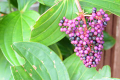 Beauty Berry Stock Photography