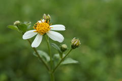 The beauty of bidens pilosa flowers Royalty Free Stock Photography