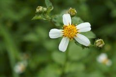 The beauty of bidens pilosa flowers Stock Photography