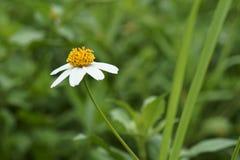 The beauty of bidens pilosa flowers Stock Photos