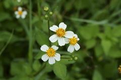 The beauty of bidens pilosa flowers Stock Images