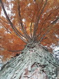 Beauty big tree. Orange color leaves Royalty Free Stock Image