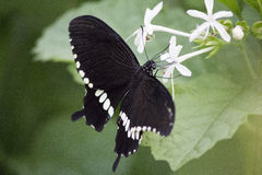 Beauty in black. Butterfly with beautiful wings Royalty Free Stock Photos
