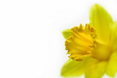 Beauty in bloom. A single daffodil in the corner over a white background with a shallow D.O.F Stock Image