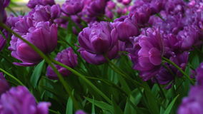 Beauty blooming purple tulips stock video