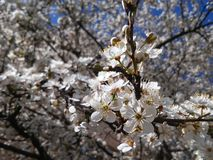 Beauty of blossom in may in Lithuania. Spring collection: beauty of tree`s blossom Royalty Free Stock Image