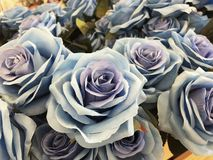 Beauty Blue rose by fabric royalty free stock photos