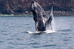 Beauty of Breaching Humpback Whale Stock Photography