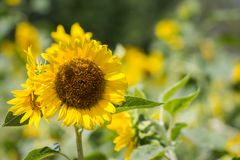Close-up  Sunflower in Garden morning. Royalty Free Stock Photo