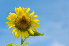 Close-up  Sunflower in Garden morning. Royalty Free Stock Image